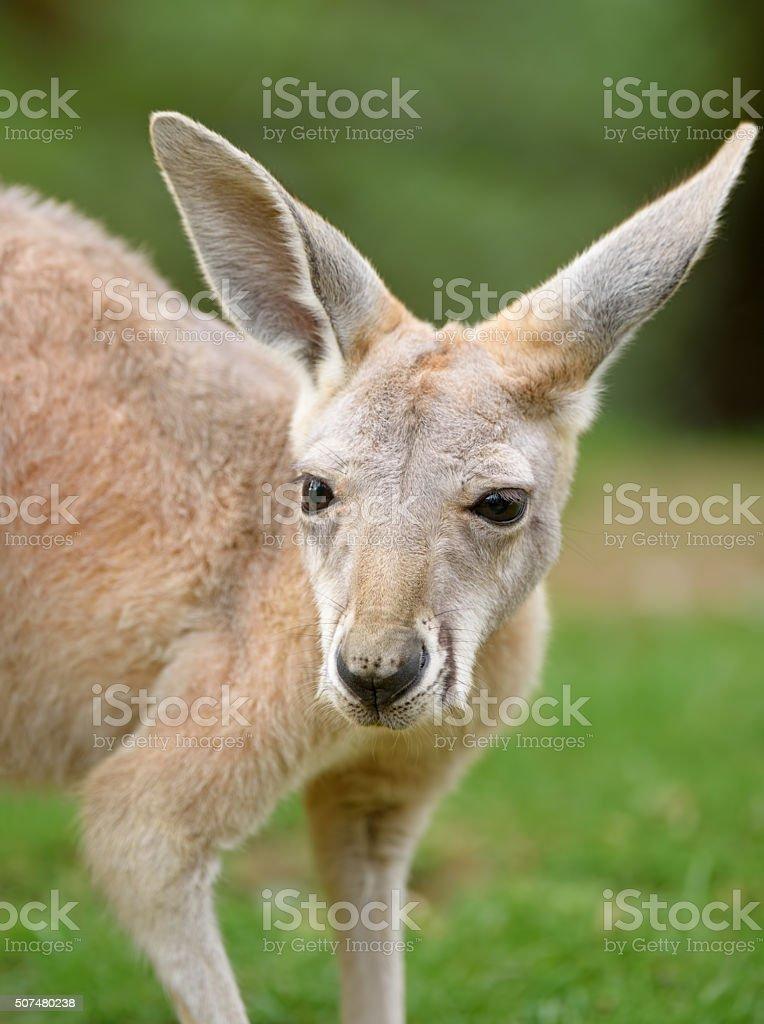 young red kangaroo stock photo