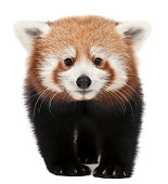 Young red panda isolated on white