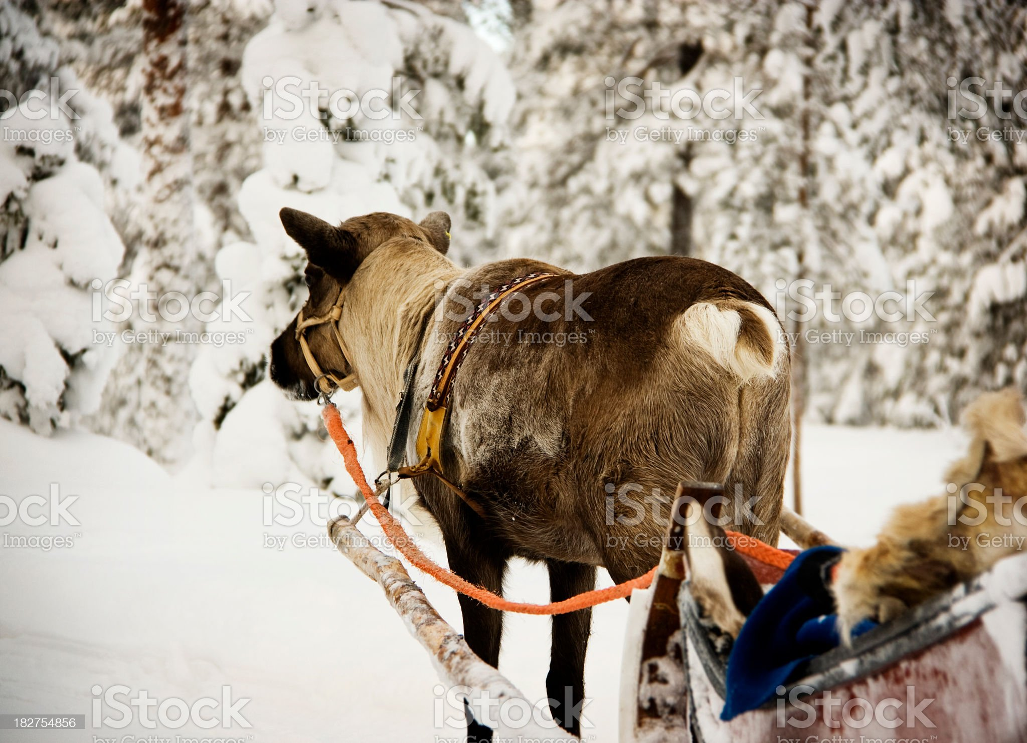 Young Reindeer Pulling a Sleigh royalty-free stock photo