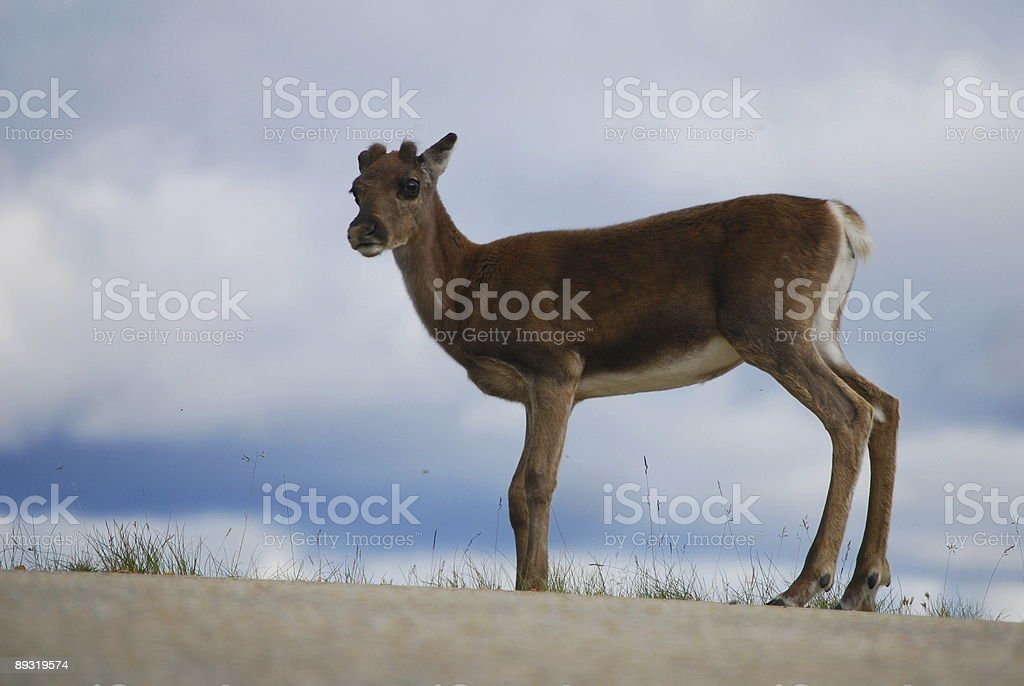 Young reindeer standing by a road royalty-free stock photo