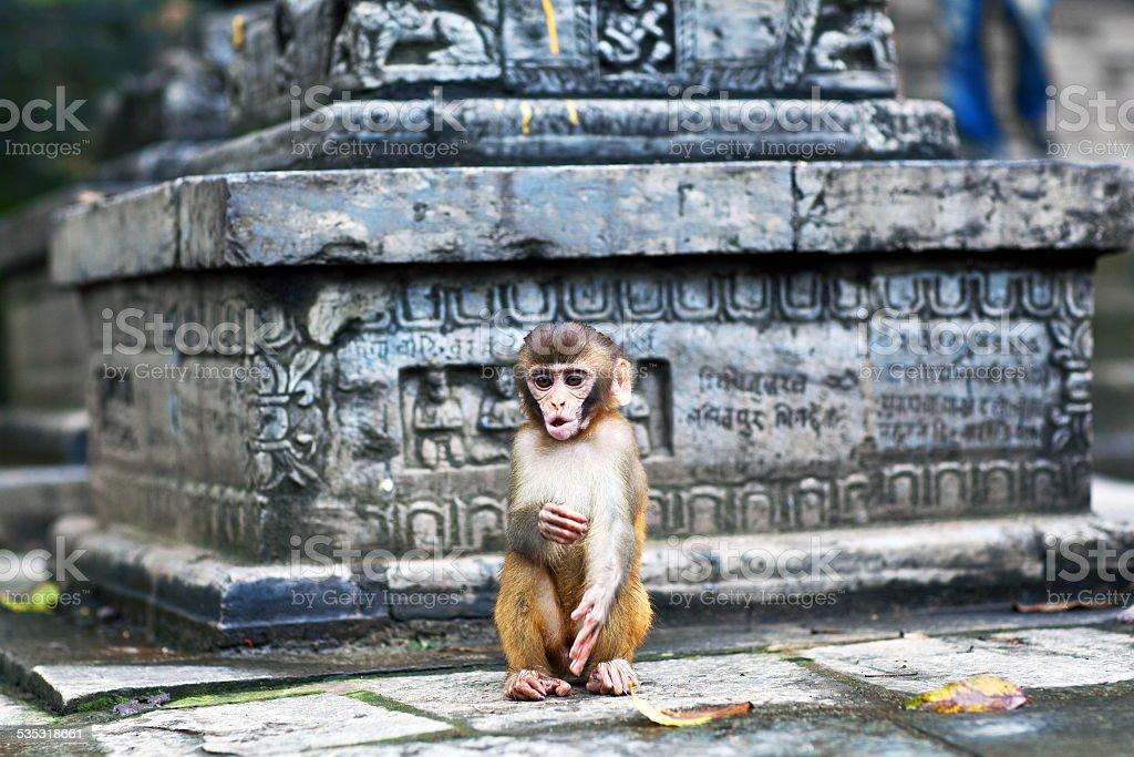 Young rhesus macaque monkey stock photo