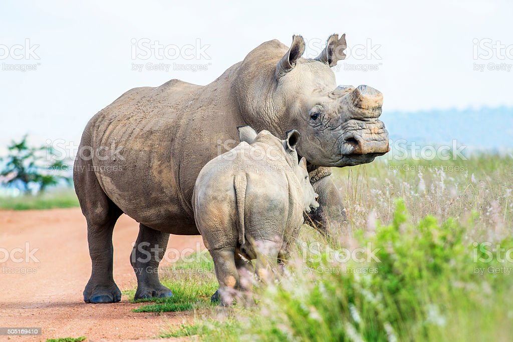 Young Rhino with mother stock photo