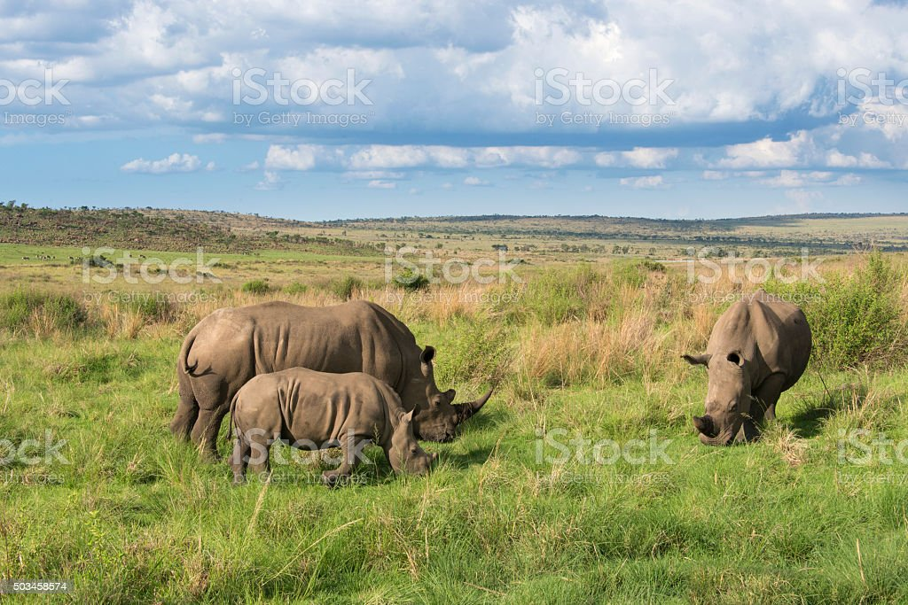Young rhino with parents on the savannah stock photo