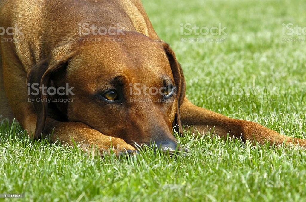 young rhodesian ridgeback lying stock photo