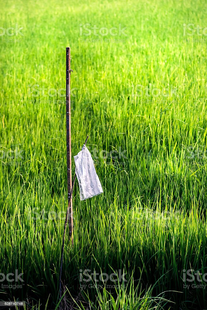 Young rice farm stock photo