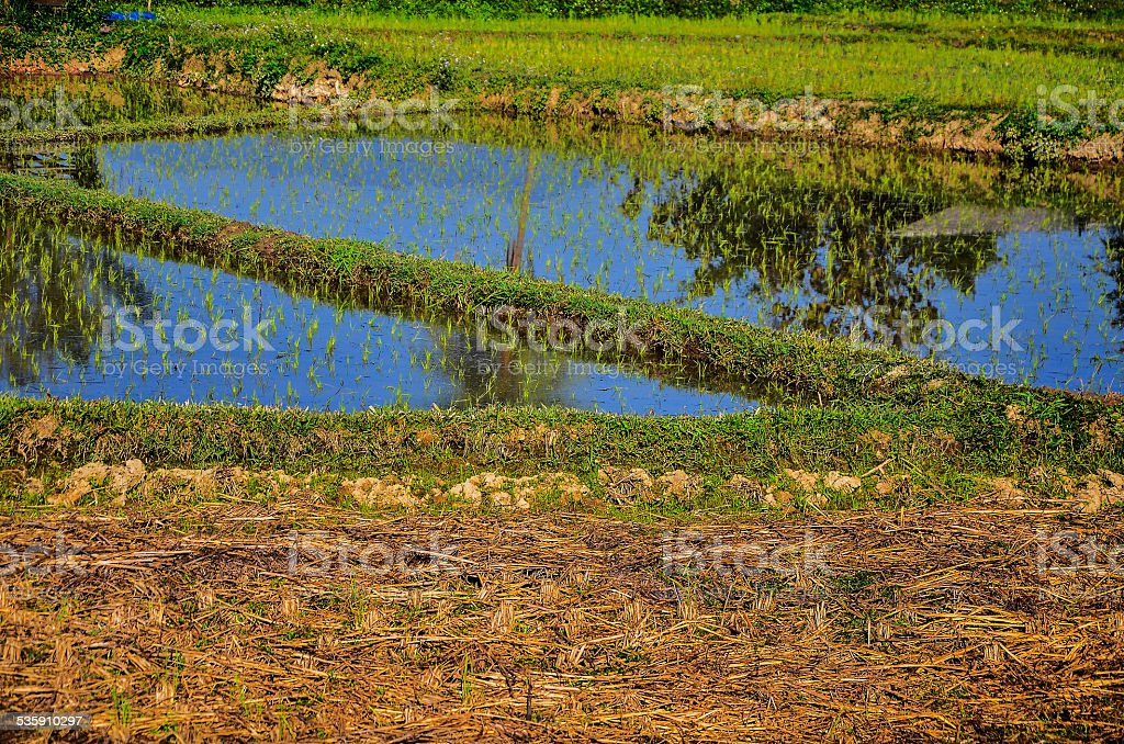 Young rice field stock photo