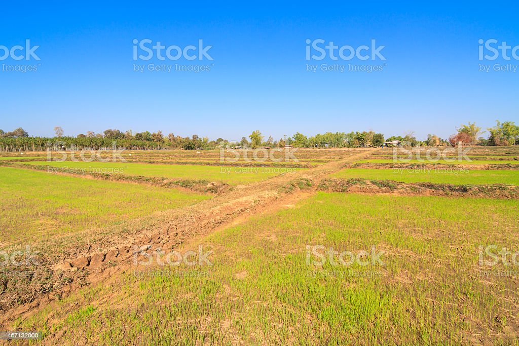 Young rice sprout in paddy stock photo
