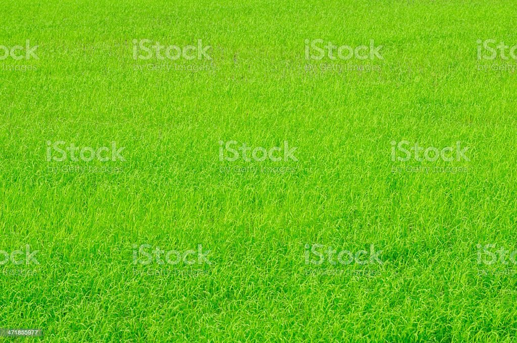 Young rice sprouts royalty-free stock photo