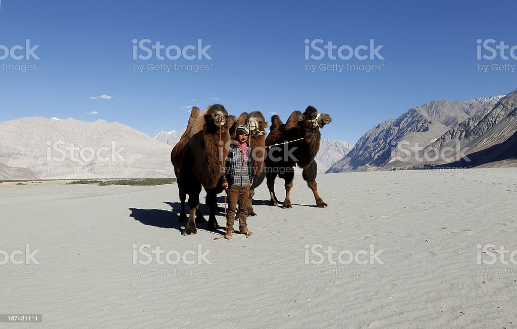 Young rider with bactrian camels royalty-free stock photo