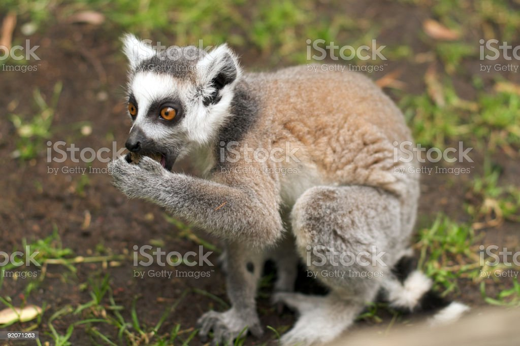 Young ring-tailed lemur eating royalty-free stock photo