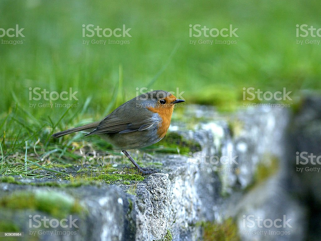 Young Robin perching on a cottage garden wall stock photo