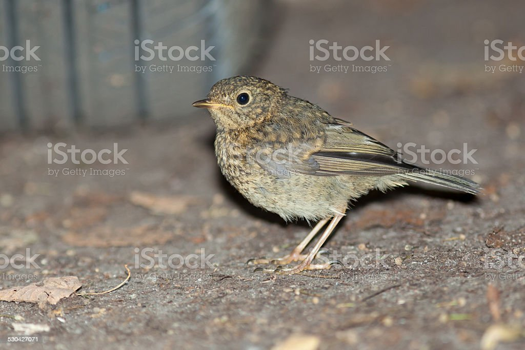 Young Robin (Erithacus rubecula).Wild bird in a natural habitat. stock photo