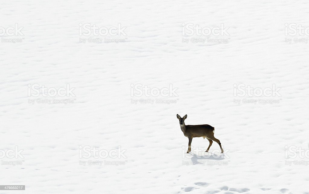 young roe deer amid the snow white stock photo