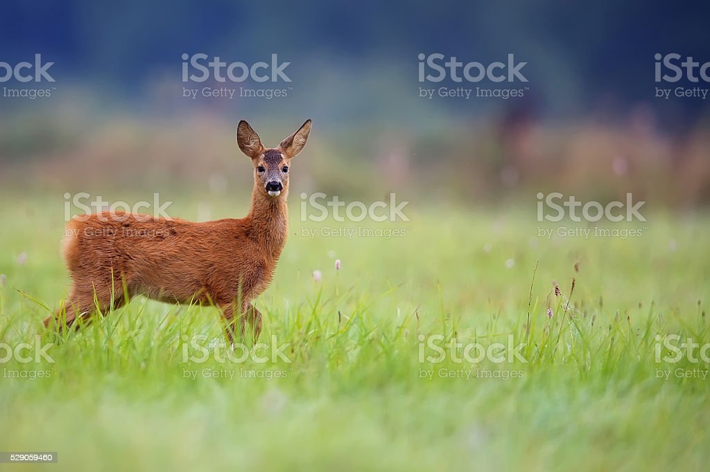 Young roe deer in a clearing stock photo