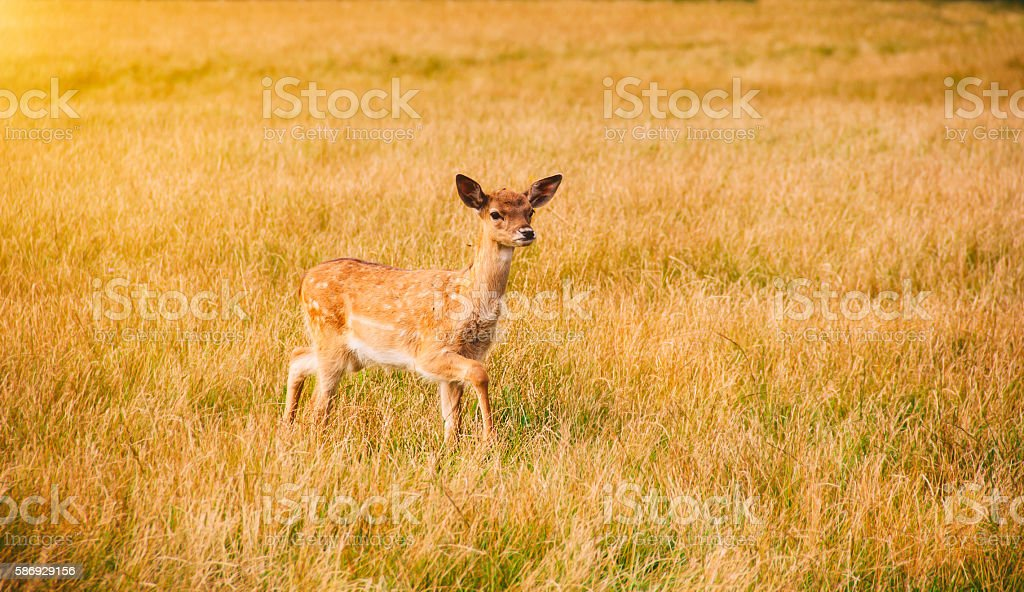 Young roe deer on the meadow stock photo