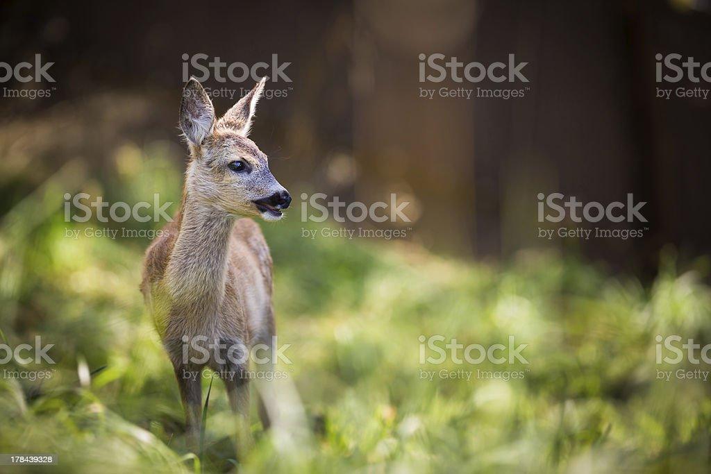 Young Roebuck (capreolus capreolus) stock photo