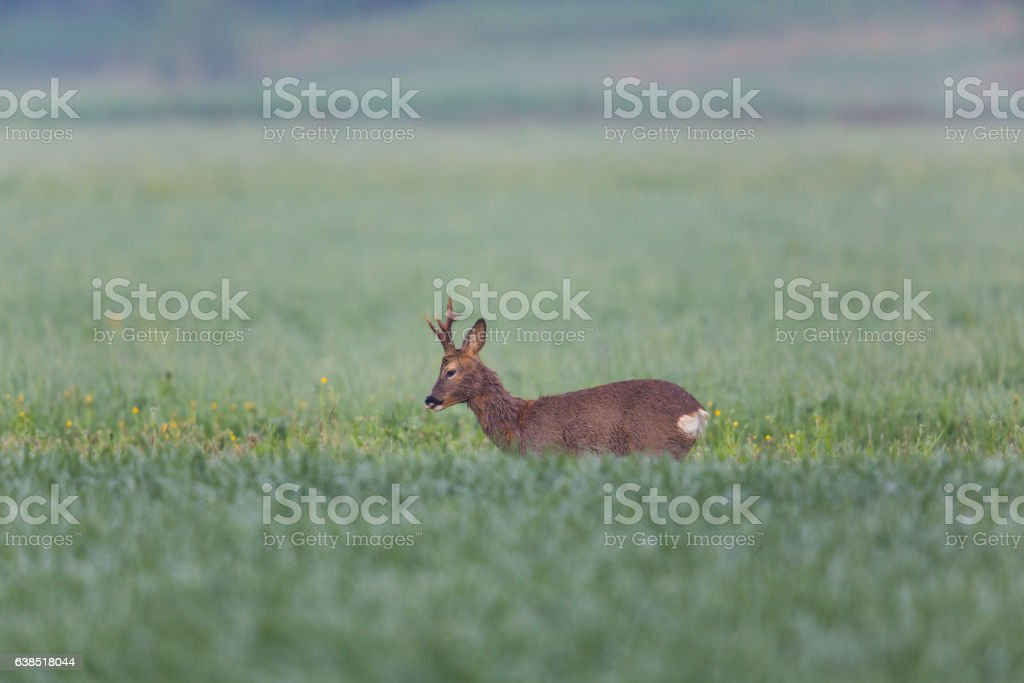 Young roebuck standing in meadow stock photo