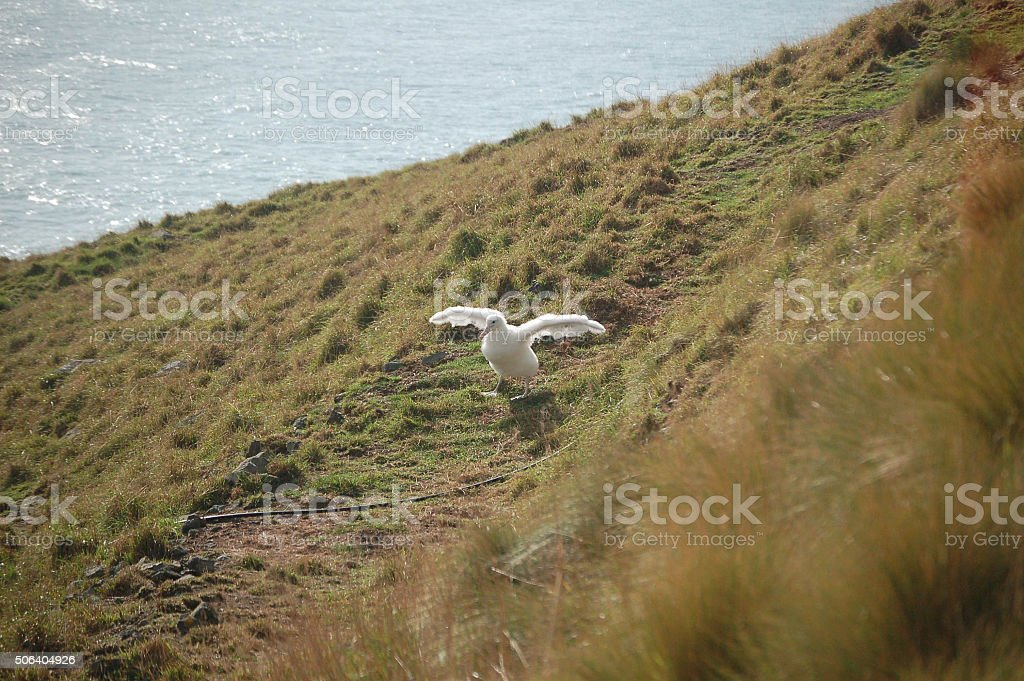 Young Royal Albatross stock photo