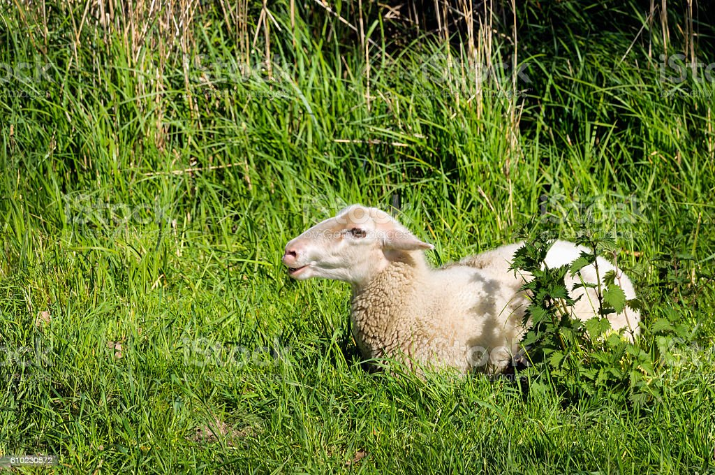 Young ruminating sheep lies in the fresh grass stock photo