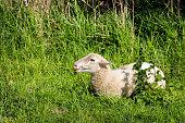 Young ruminating sheep lies in the fresh grass