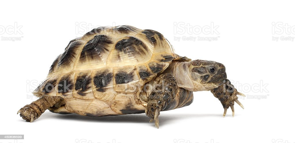 Young Russian tortoise, Agrionemys horsfieldii stock photo