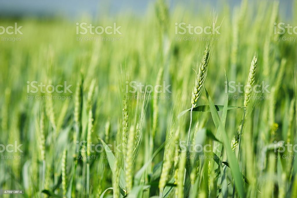 young rye stock photo