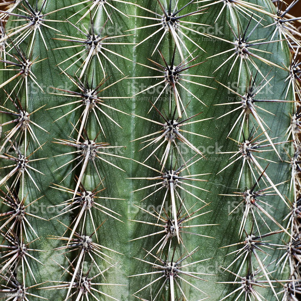 Young saguaro royalty-free stock photo