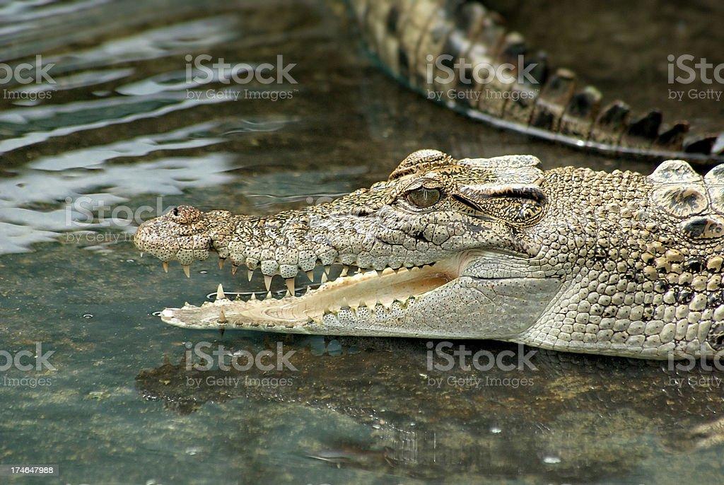'Young Salt Water Crocodile, Far North Queensland, Australia' stock photo