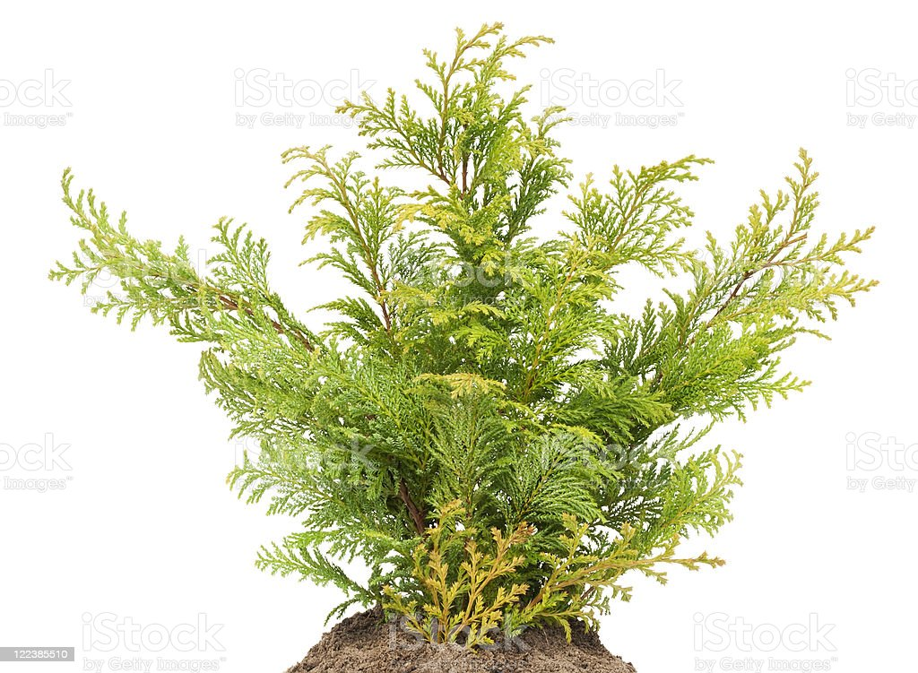 Young sapling, sprout a Golden Thuja on bed stock photo