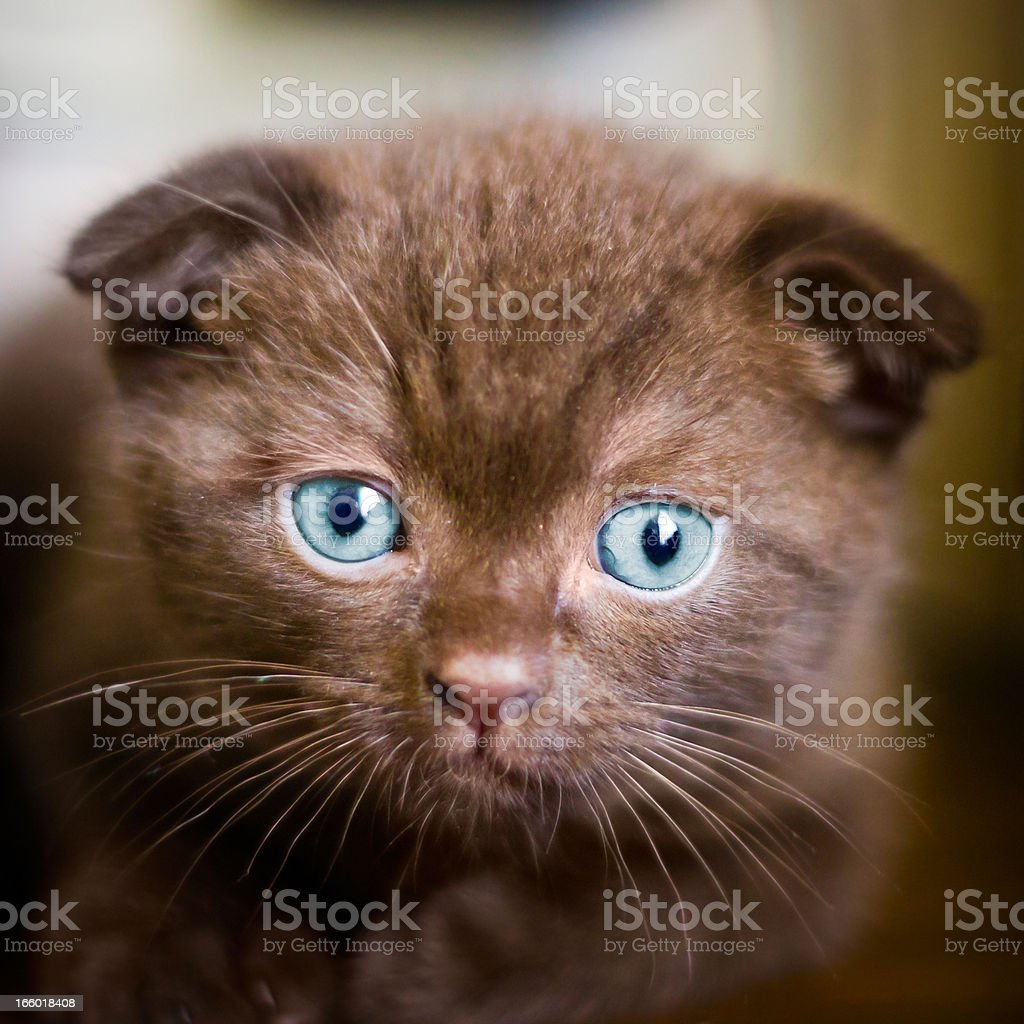 Young scottish-fold cat looking into camera stock photo