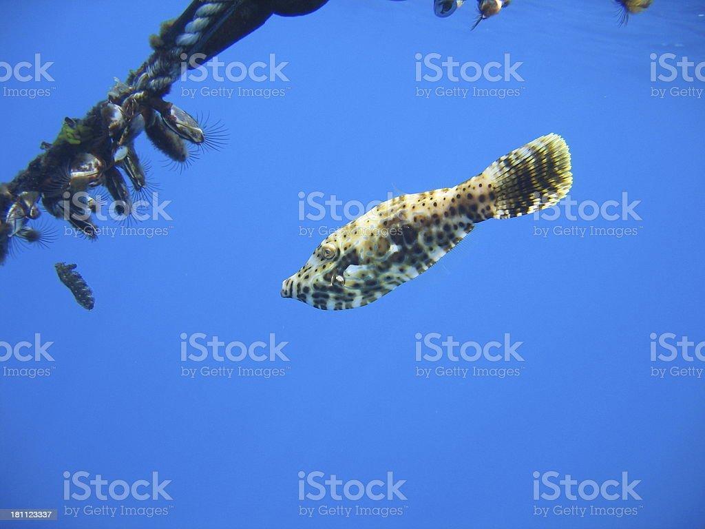 Young Scrawled Filefish royalty-free stock photo