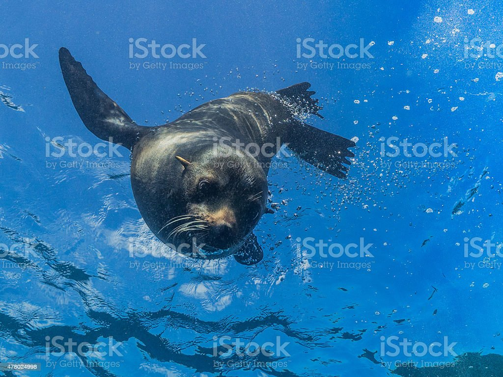 Young sea lion diving down from the surface stock photo
