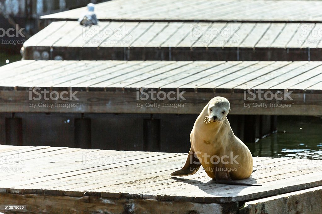 Young Sea Lion on a Floating Platform stock photo