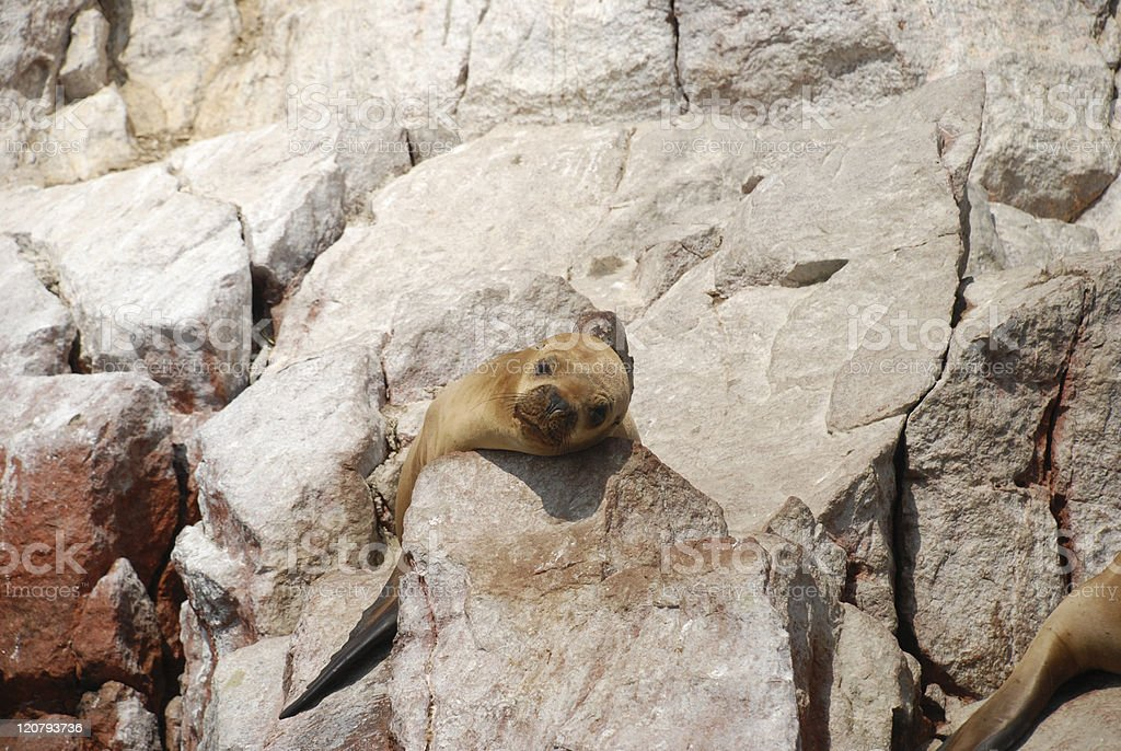 Young Sea Lion royalty-free stock photo