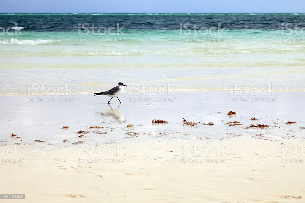 Young seagull walks on the beautiful beach royalty-free stock photo