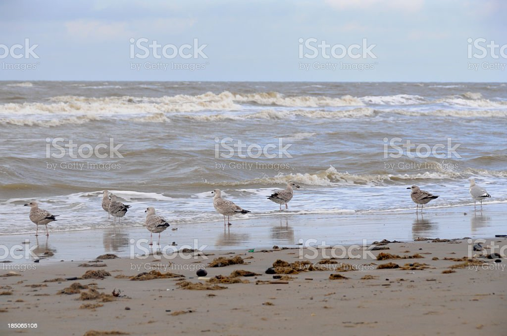 Young seagulls at beach in surf and one adult bird stock photo