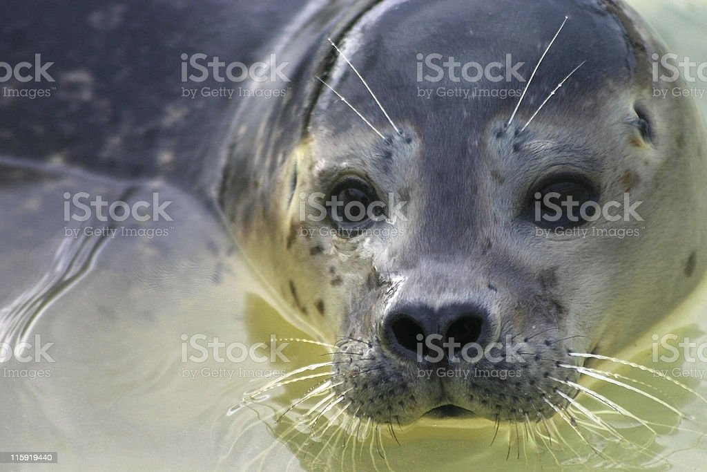 Young seal face royalty-free stock photo