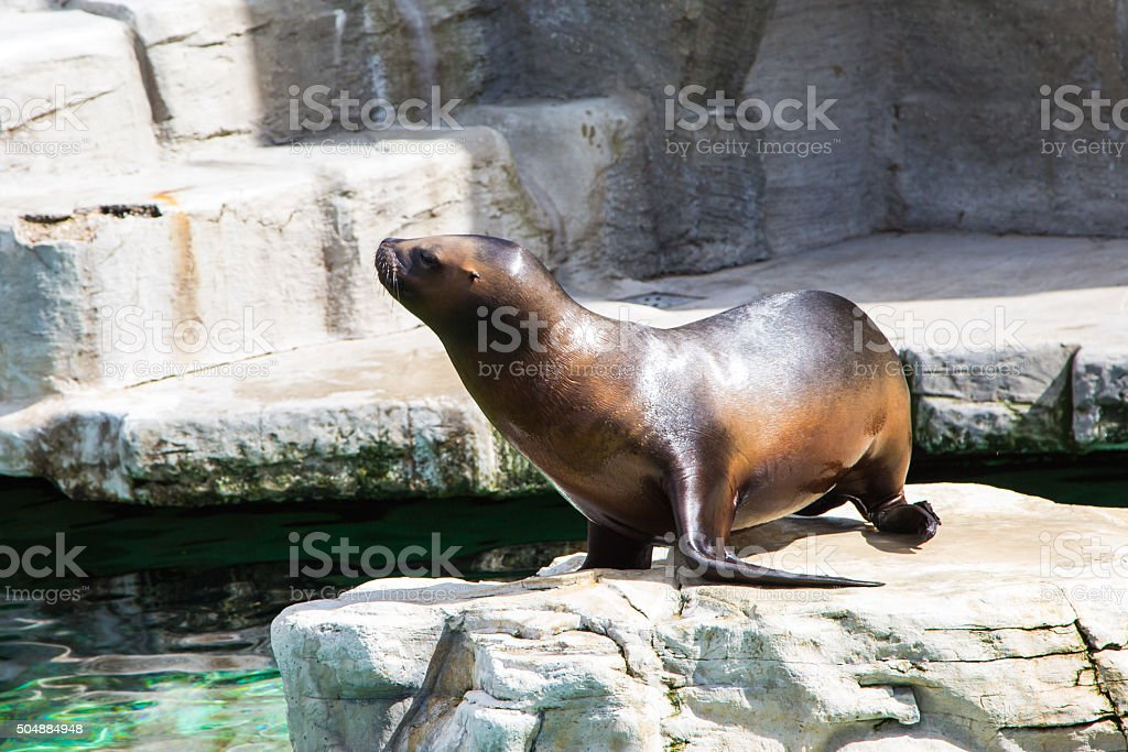 young  seal on the stone stock photo