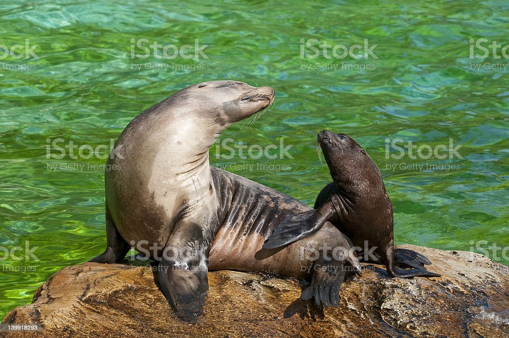 Young seal with his mother. stock photo