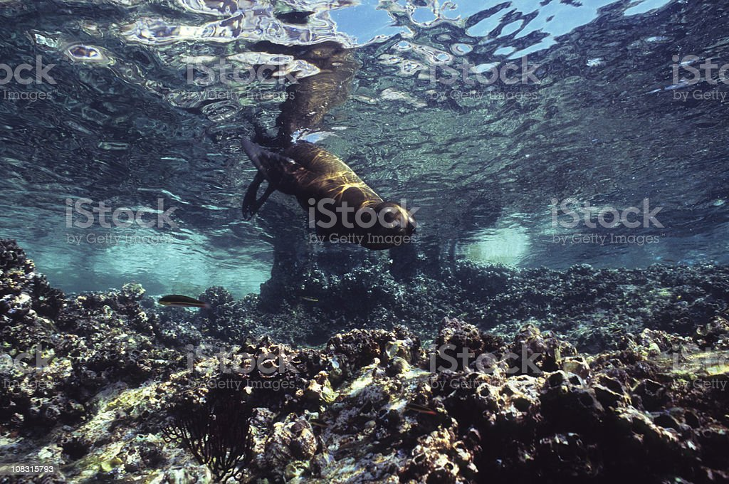 Young Sealion Taking the Plunge stock photo