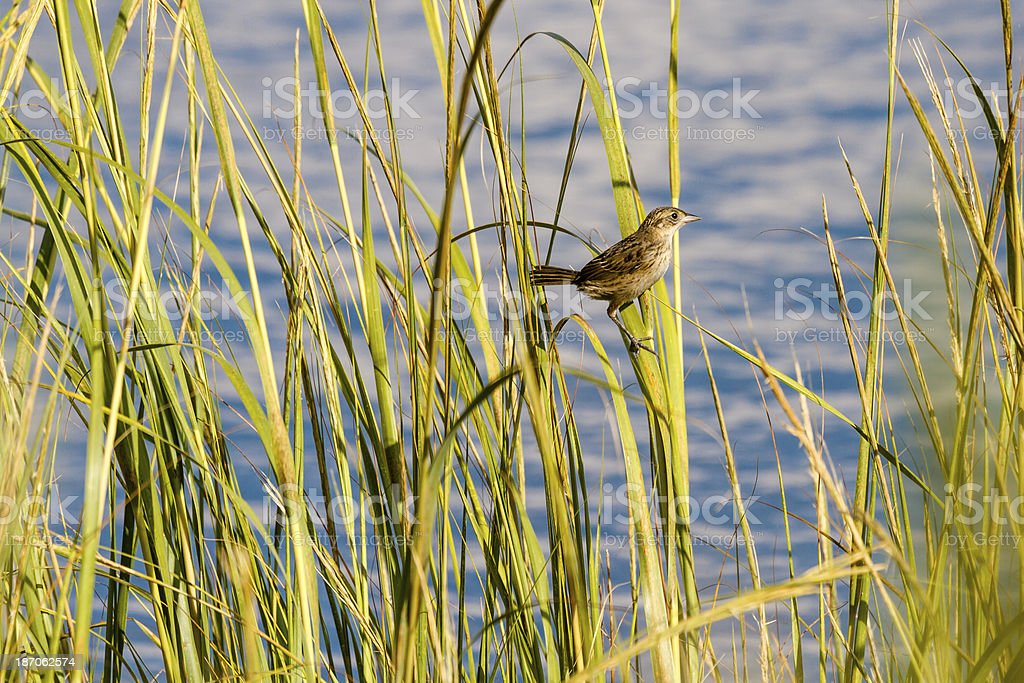 Young Seaside Sparrow (Ammodramus maritimus) royalty-free stock photo