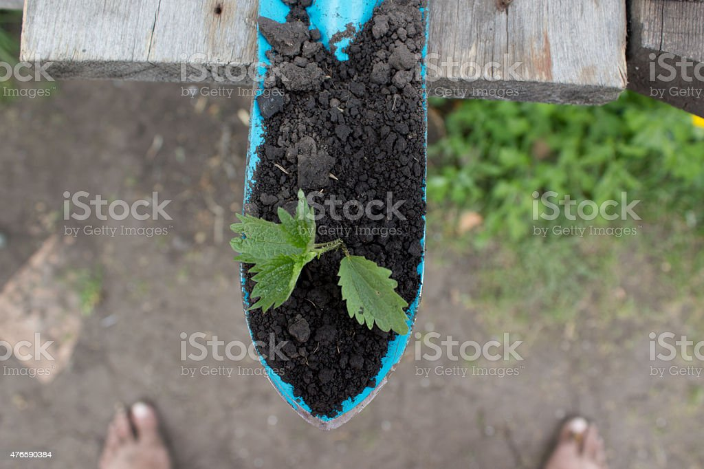 Young seedling growing in a soil and blue garden spade stock photo