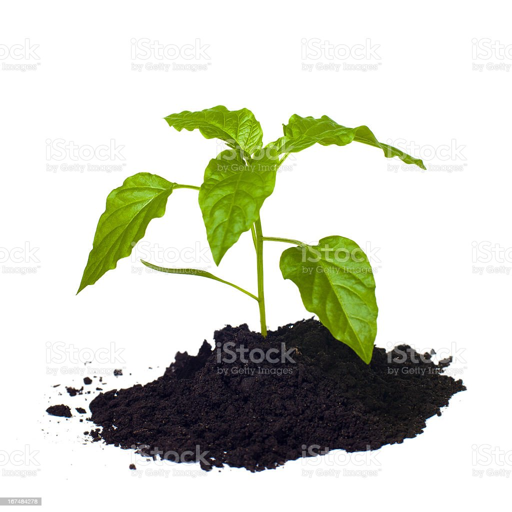 Young seedling growing in a soil. royalty-free stock photo