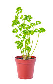 young seedling of fresh green parsley leaves in flower pot
