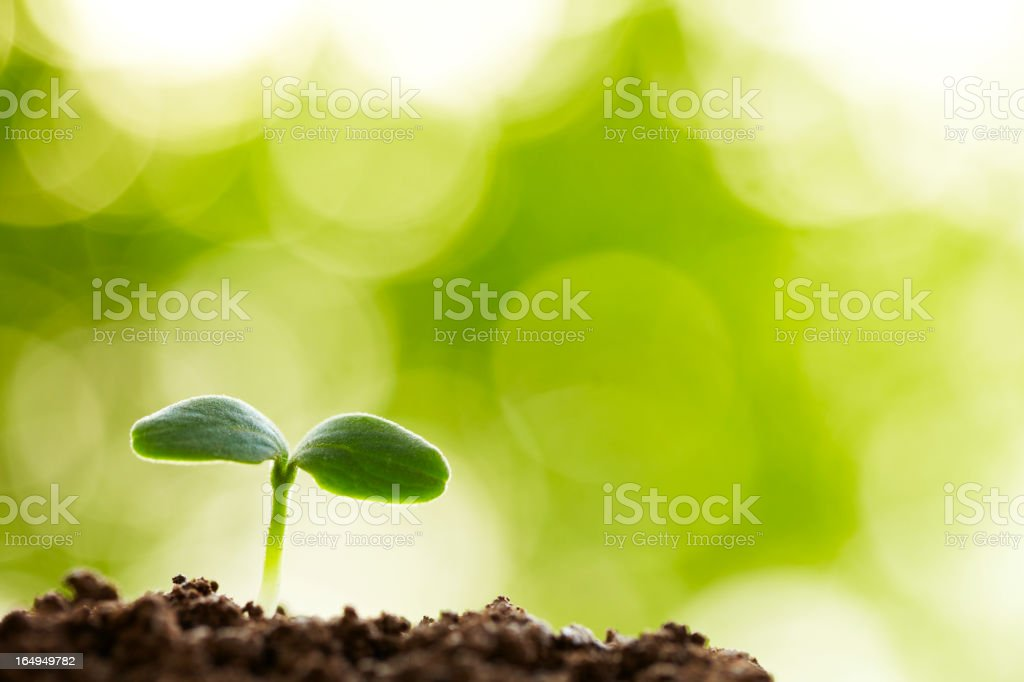 A young seedling sprouting from the earth stock photo