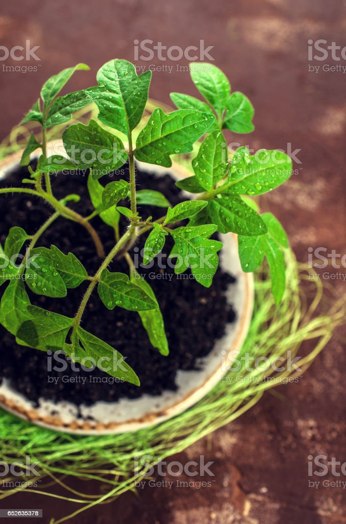 Young seedling tomato stock photo