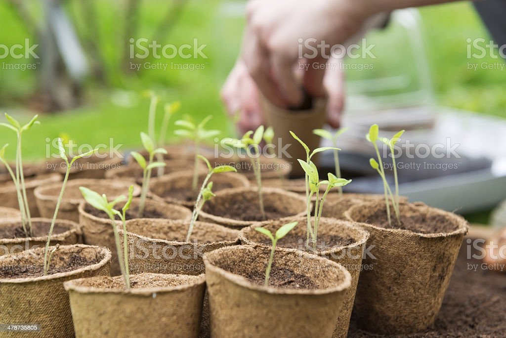 Young Seedlings in jiffy pots stock photo