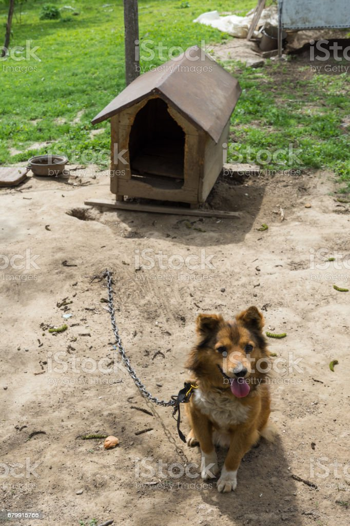 Young sentry dog sits on a chain near dog house stock photo