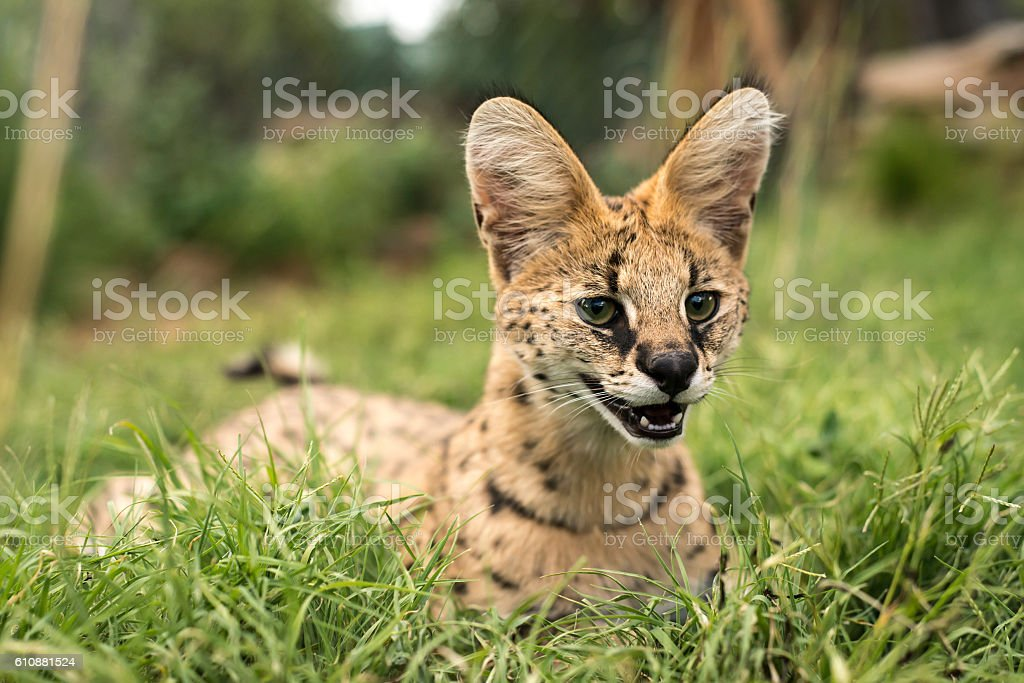 Young serval relaxing in the green grass stock photo