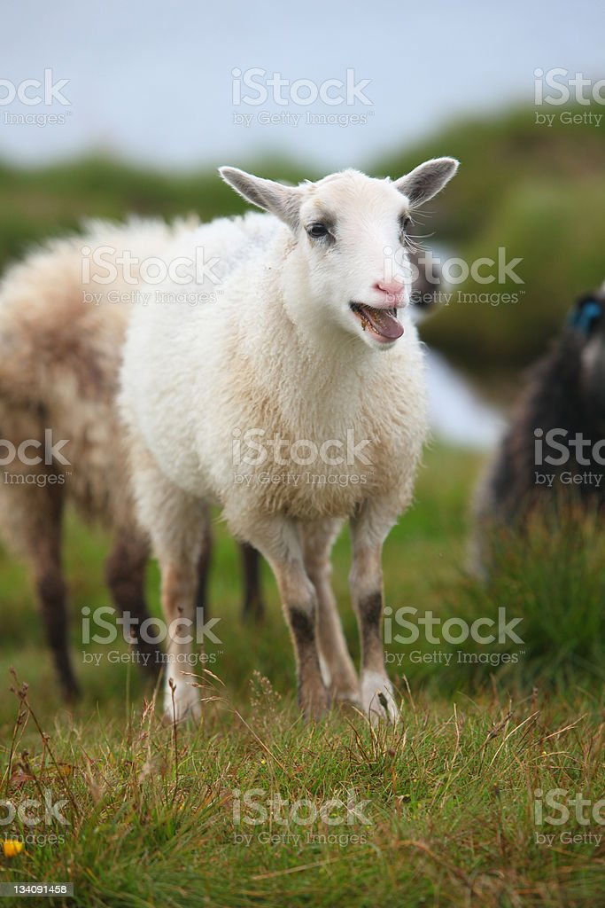 Young sheep, lamb bleating in the flock royalty-free stock photo